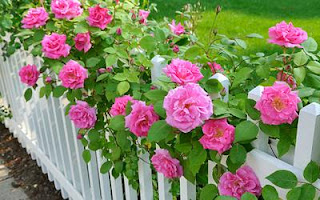 Bright pick roses over a white picket fence.