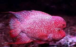 Jenis Ikan louhan cencu atau zenzhu termahal dipasaran