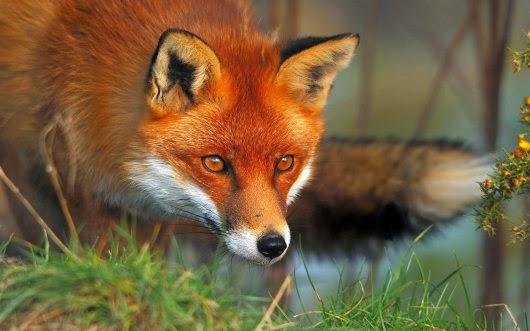 Καστοριά: Ενεργητική επιτήρηση της λύσσας