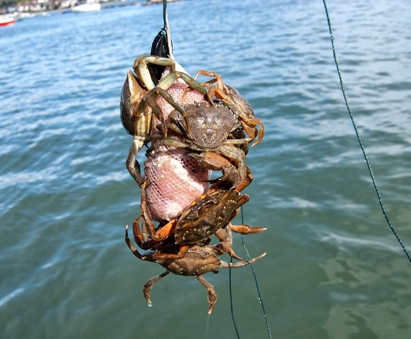 how to catch crabs on a line