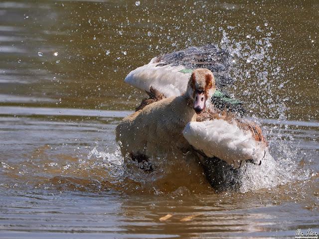 Egyptian Goose Splash!