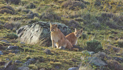 Couple of Pumas at Torres del Paine Park, Chile.