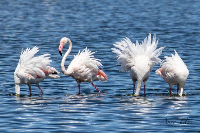 Greater Flamingos at Milnerton