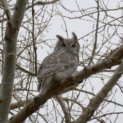 Hallowe'en, owl, animals, Dunmore, Alberta