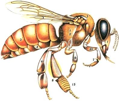 Dibujo de una abeja con sus partes enumeradas