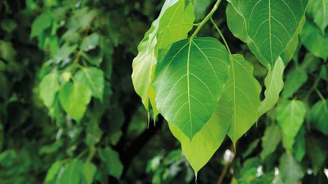 15 अद्भुत स्वास्थ्य लाभ पीपल पेड़ और पत्तों के | Pipal Ke Ped Ke Fayde in Hindi