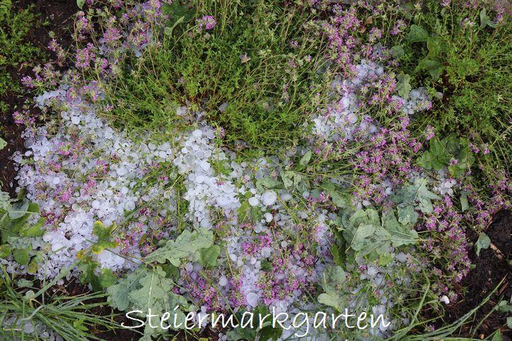 Hagelschaden-Thymian-Steiermarkgarten