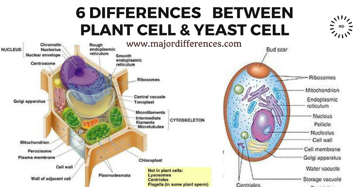 Yeast Cell Wall Structure 6 Differences between ...