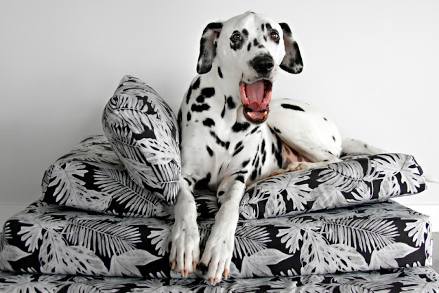 Dalmatian dog lying on top of a stack of dog beds