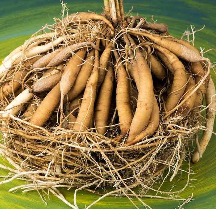 आयुर्वेदिक/औषधीय जड़ी-बूटियां शतावरी