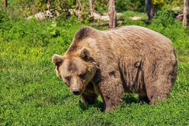 bear dream meaning, bear dream interpretation