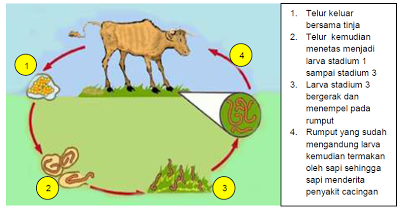 siklus Penyakit cacingan pada Ruminansia sapi