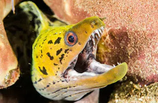 moray eel, পৃথিবীর সবচেয়ে ভয়ংকর মাছ