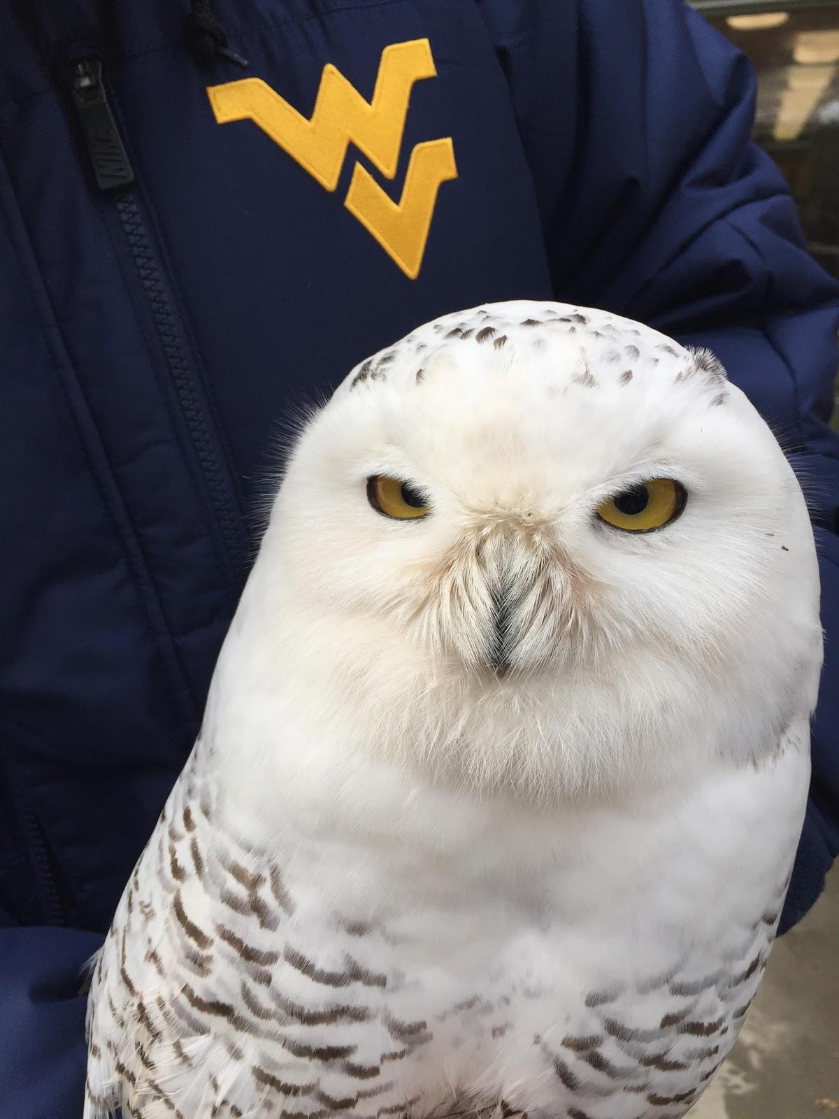 Julie Zickefoose On Blogspot - Meet the cuddly owl who loves landing on people