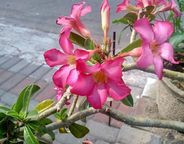 bunga tanaman hias adenium, kamboja jepang