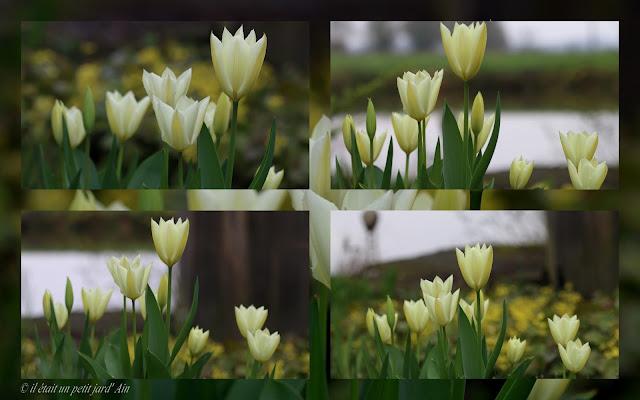 bulbes floraisons crème