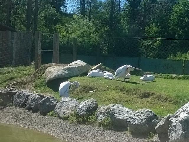 Pellicani Pombia zoo