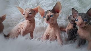 gatos sphynx egipcio sin pelos