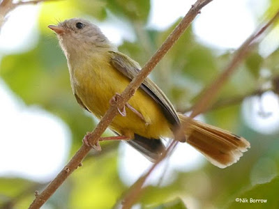 Livingstone's Flycatcher