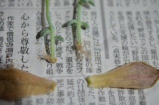 新芽と元の葉
