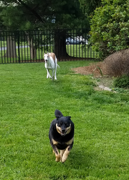 image of Zelda the Black and Tan Mutt running toward me in the backyard, with Dudley the Greyhound in hot pursuit