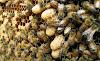 Δύο μέθοδοι για να βρίσκετε τα βασιλικά κελιά σμηνουργίας πολύ γρήγορα: Πως δουλεύουν οι παλιοί μελισσοκόμοι;