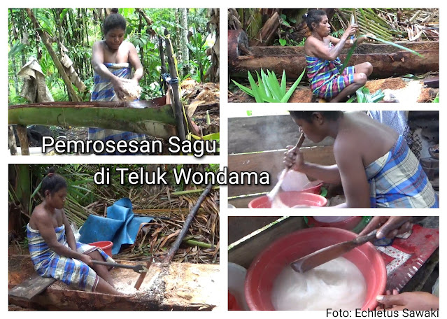 the indigenous people of wondama use traditional tools to extract sago pith