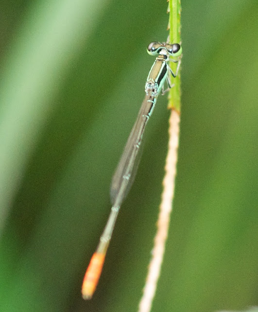 Agriocnemis femina (Variable Wisp)