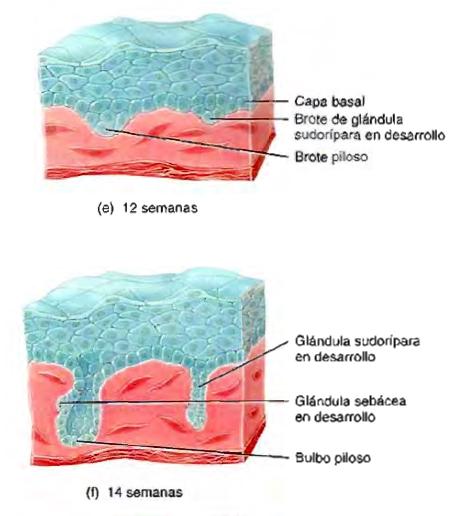 Sistema tegumentario piel glándula sudorípara