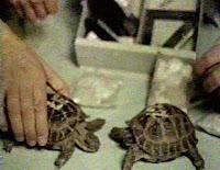 Le tartarughe trasportate dalla capsula Zond 5.