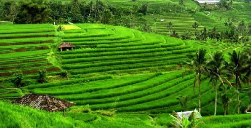 Sawah Berundak BaliIndonesia