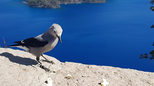 A Crater Lake bird eyes the popcorn.