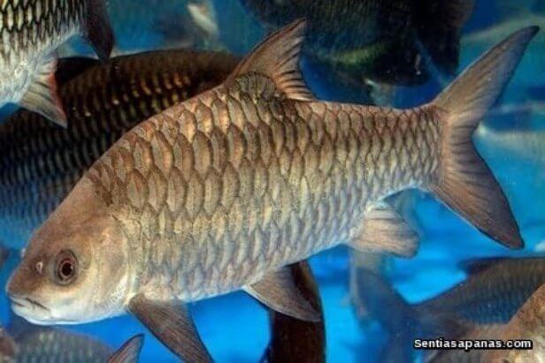 Ikan Empurau