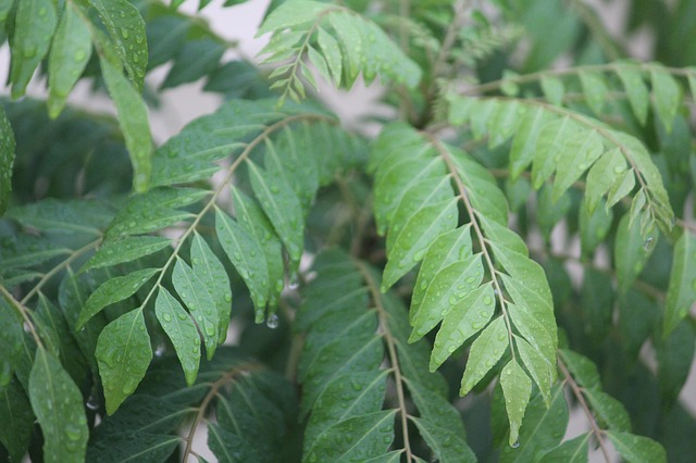 Health advantages of curry leaf