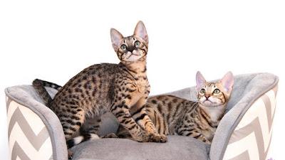 F7 savannah cat Personality, Size, Adoption, Cost