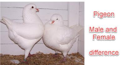 10 Ways to distinguish Pigeon male and female