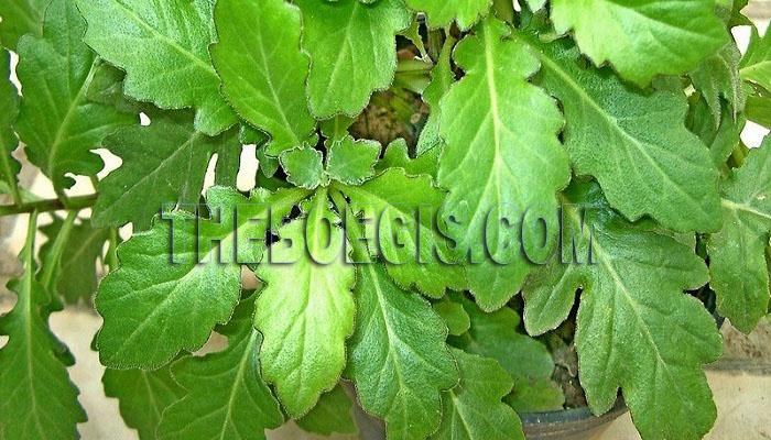Benefits of Dewa Leaf for Body Health