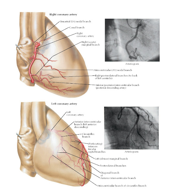 Coronary Arteries: Right Anterior Oblique Views with Arteriograms Anatomy