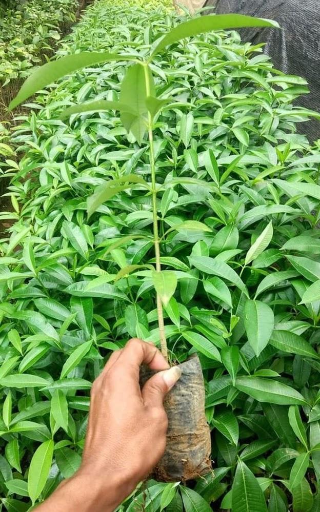 Asli Bibit Pohon Pule Pulai Bahan Bonsai Siap Tanam Jawa Tengah
