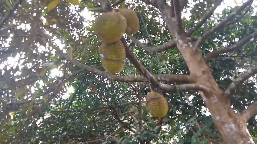 king of fruit
