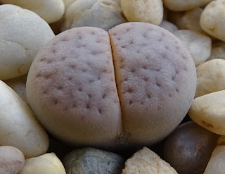 Lithops vallis-mariae