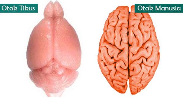 Ukuran Otak Manusia vs Tikus