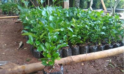 Jual Bibit Pohon Teh Tehan Pagar - www.suryataman.com