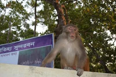 A monkey with a damaged eye at Sundarban