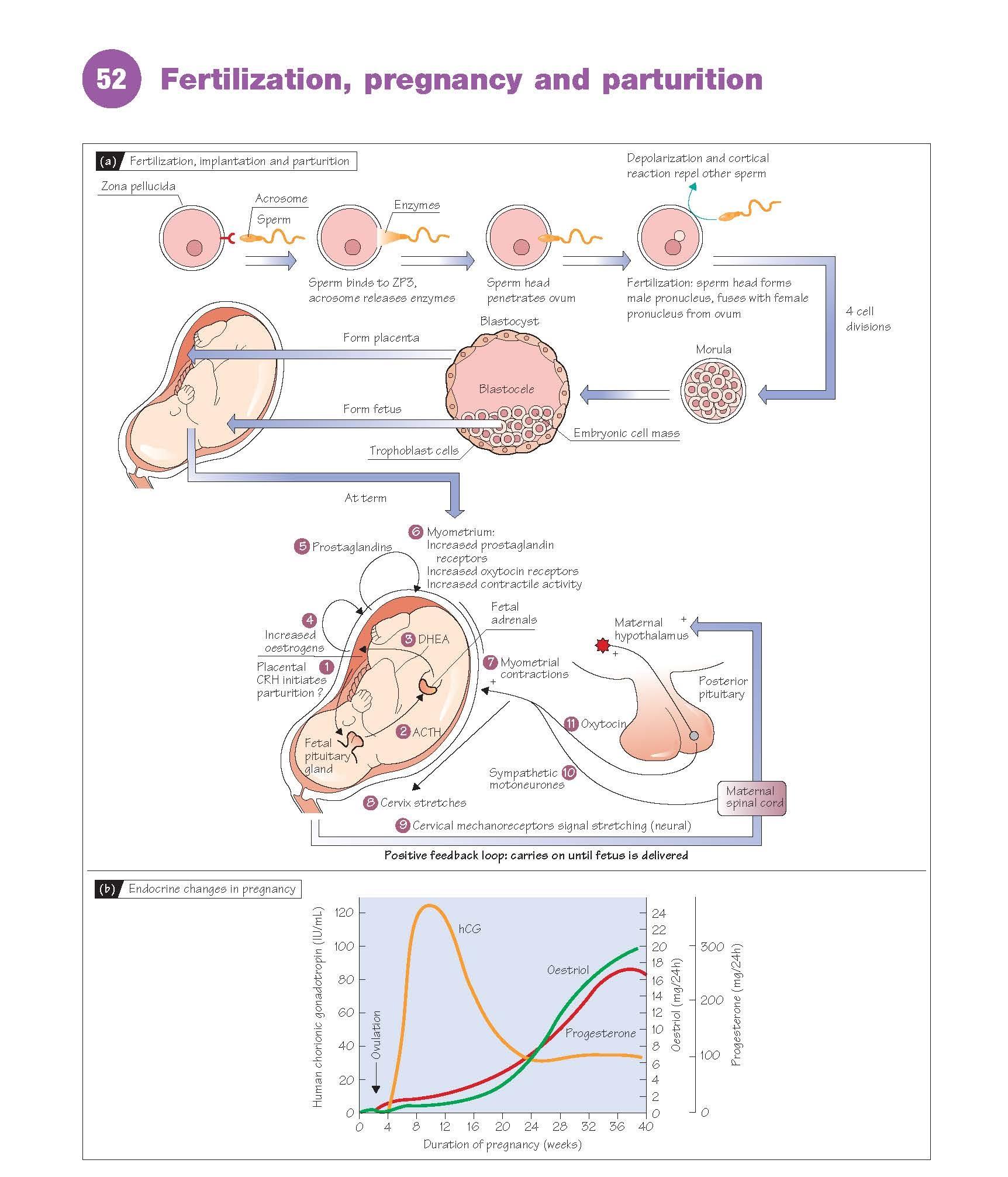 Fertilization, Pregnancy And Parturition