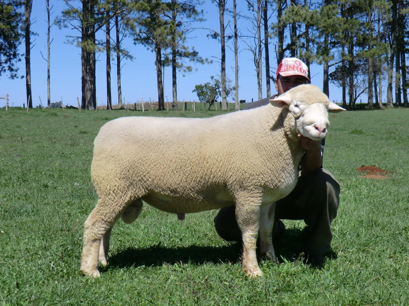 İle de France' koyun ile ilgili görsel sonucu