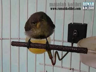 Kolibri Ninja