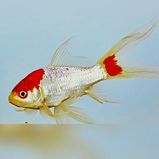 Gambar Origami Ikan Mudah Comot Pdladangbatu Blogspot Buat