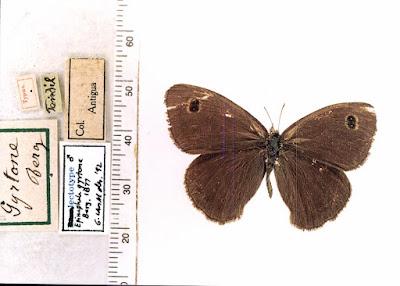 Mariposa dos puntos ocelada (Pampasatyrus gyrtone)