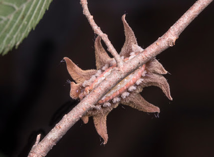 The underside of a Hag Moth Caterpillar